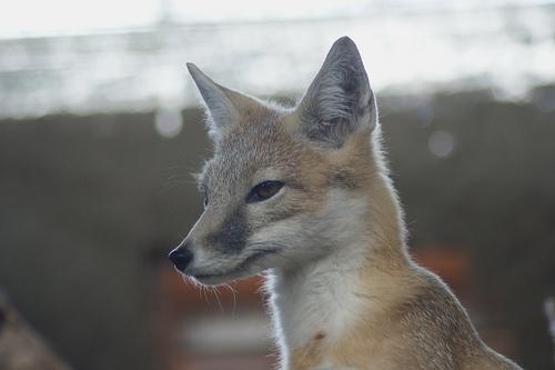Swift Fox (Vulpes velox), Diergaarde Blijdorp