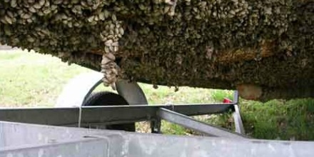 Zebra mussels attached to the bottom of a boat