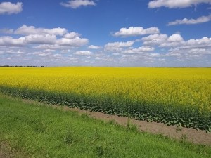CANOLA_GRANDCOULEE